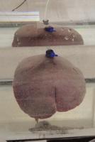 Fig.2 Lifting up the porcine liver