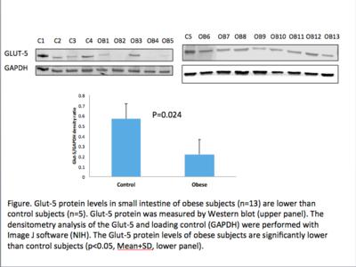 GLUT5 Protein Levels